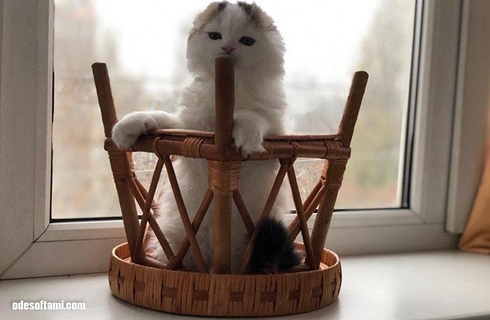 Шотландские котята от ODESSAMAMA.CAT