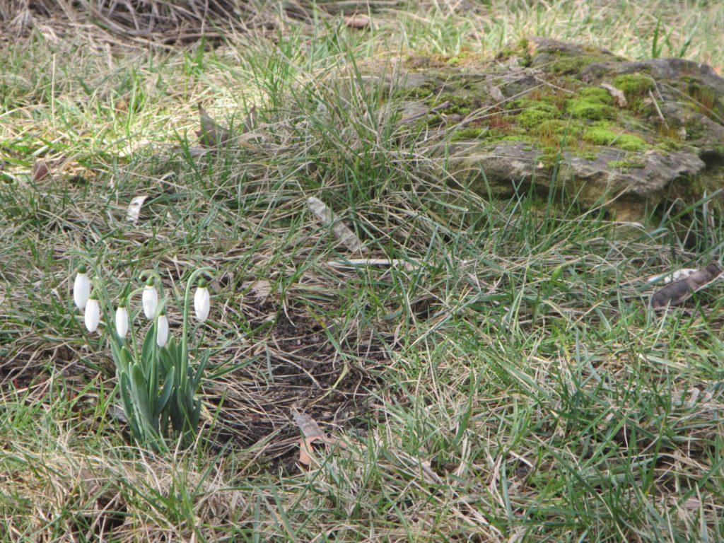 Весна уже близко. Подснежники.