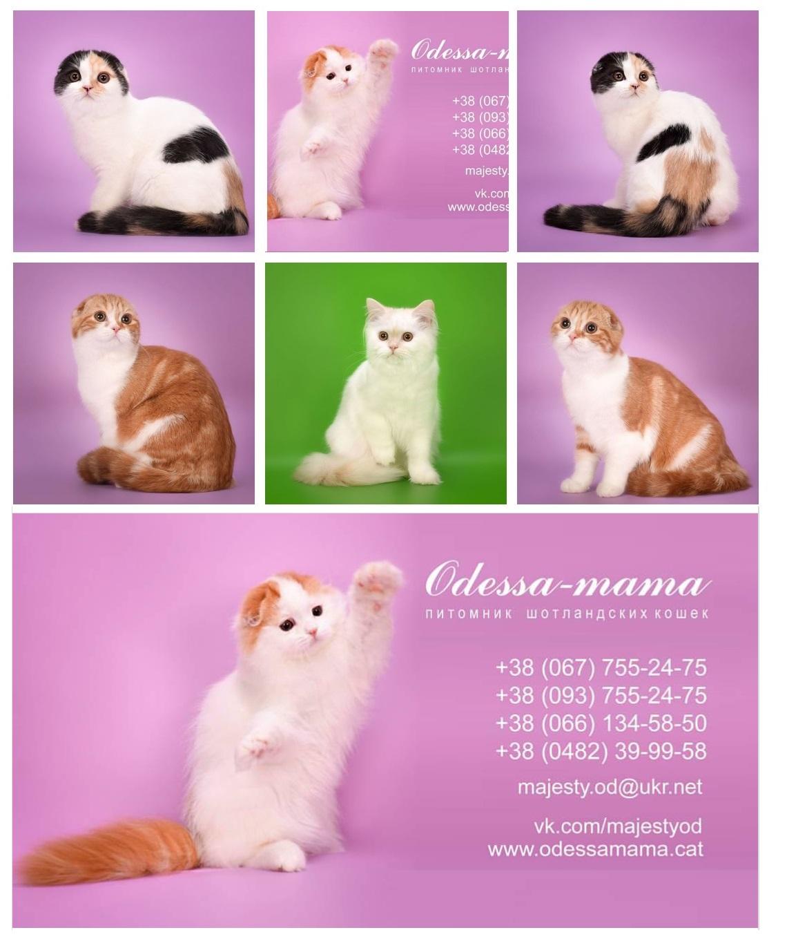 Шотландские котята питомник Odessa-Mama